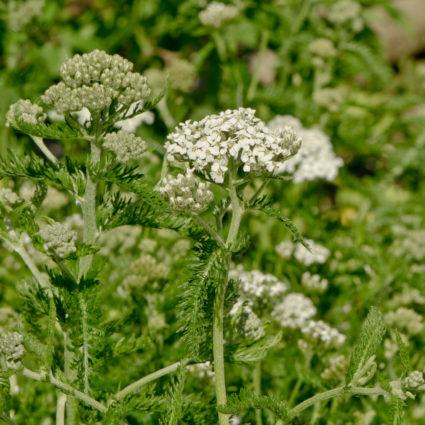 L'achillée mille-feuille possède de nombreuses vertus notamment celle d'aider les plantes à supporter la sécheresse.